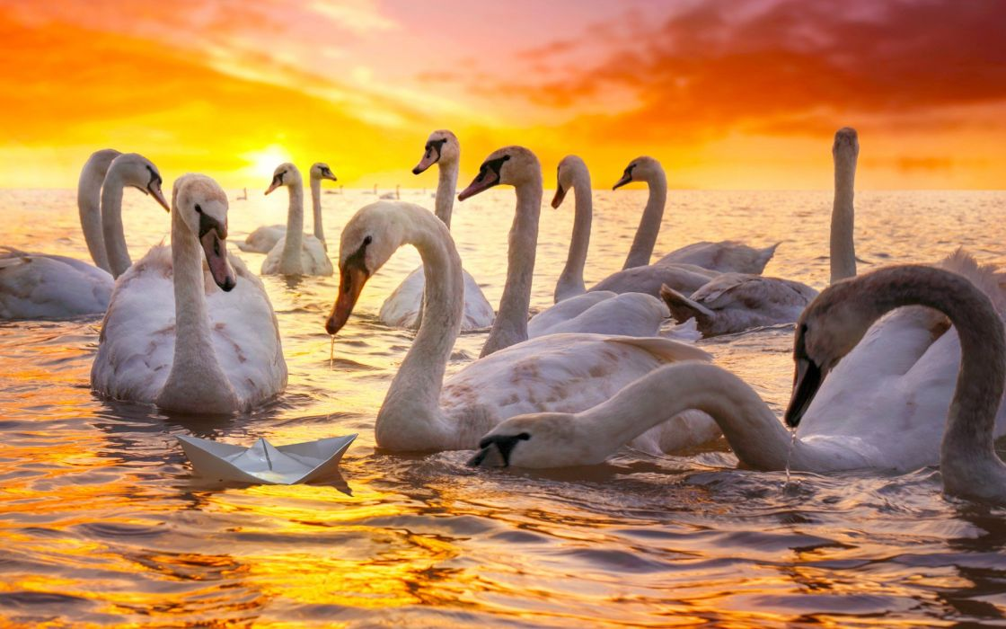 Wallpaper white swans and paper boat wallpaper