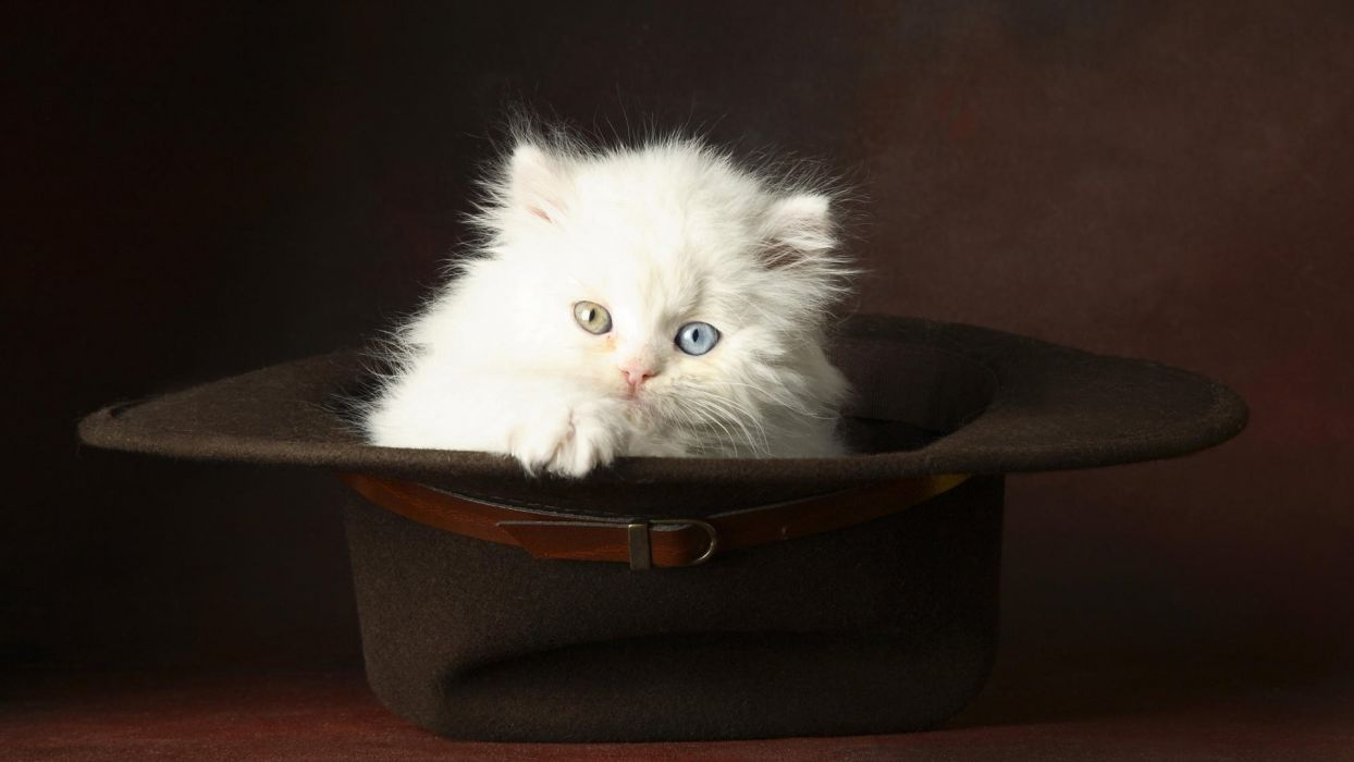 Cat Kitten Heterochromia Hat Animals wallpaper