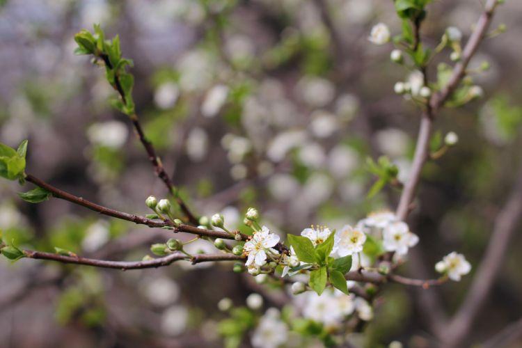 cherry-plum tree blossom flowers leaves spring wallpaper