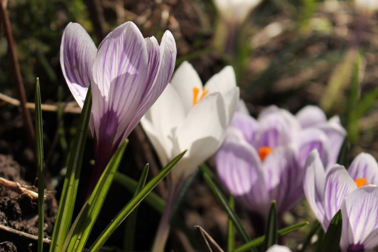 crocus flowers spring plants sunlight wallpaper