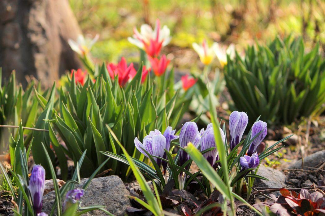 garden crocus tulips flowers plants spring wallpaper