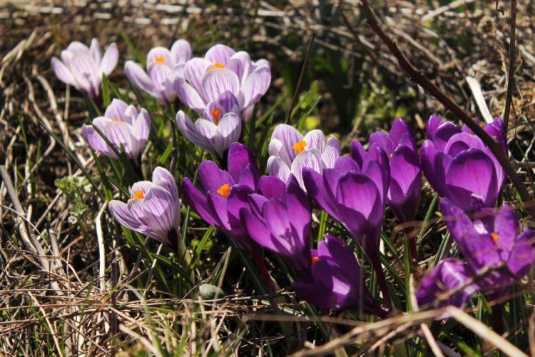 crocus flowers spring plants sunlight wallpaper