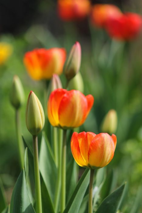 tulips buds flowers spring beautiful sunlight wallpaper