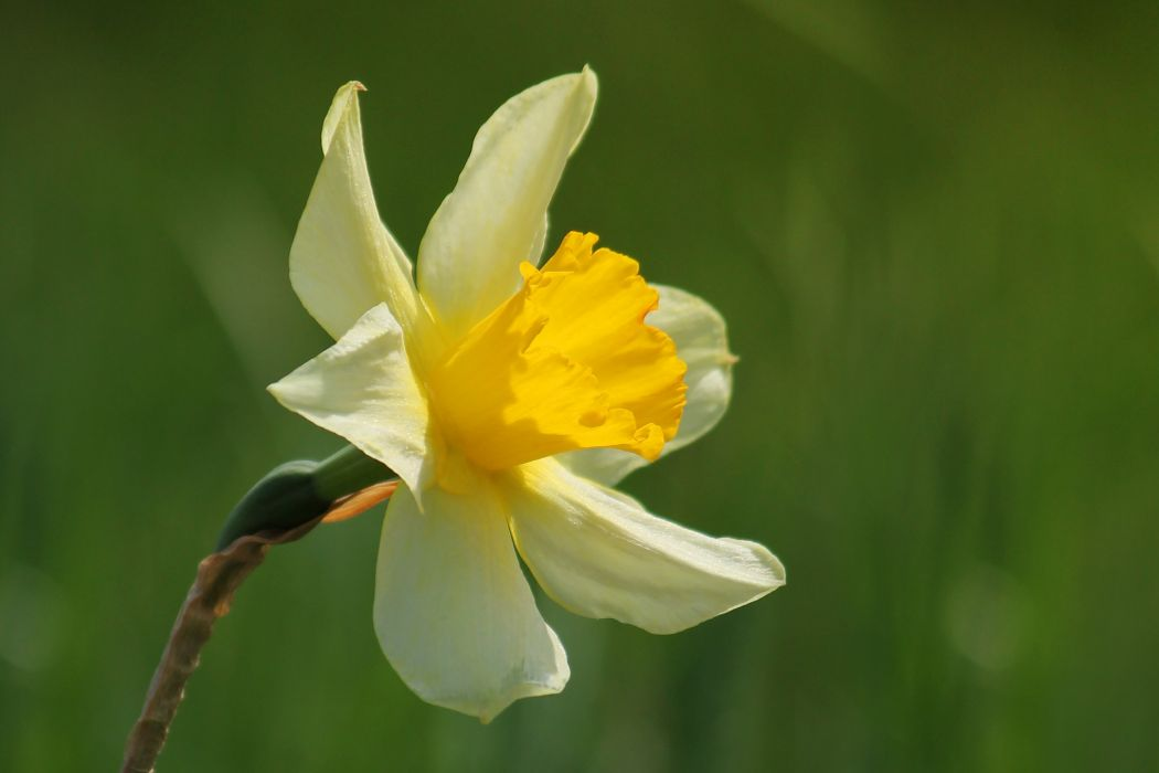 narcissus flower blossom spring yellow wallpaper