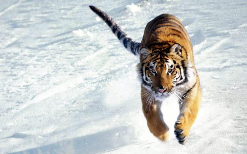 Snow Tiger wallpaper