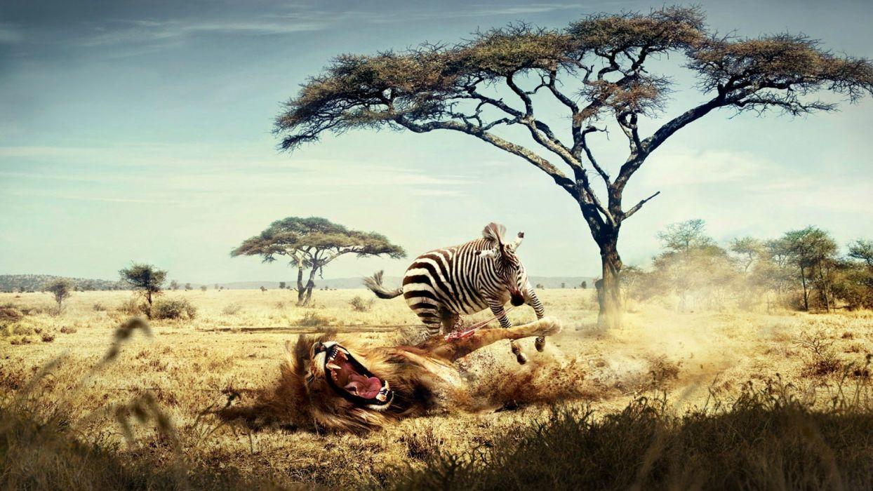 abstracto humor cebra ataca leon wallpaper