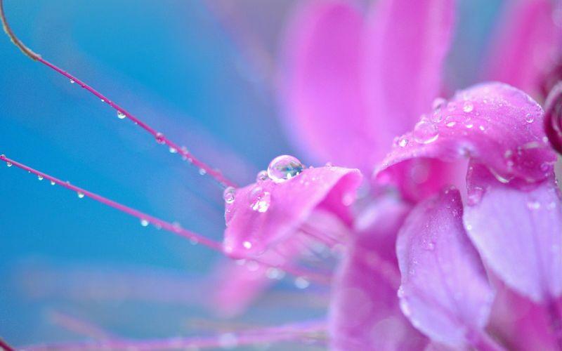 pink flower drop flower drops macro flowers wallpaper