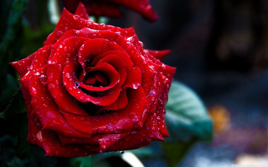 -red rose macro shoot-red flower beauty wallpaper