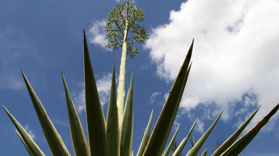 agave flor wallpaper