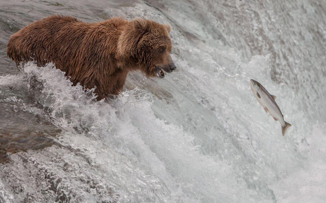 fish bear river stream wallpaper