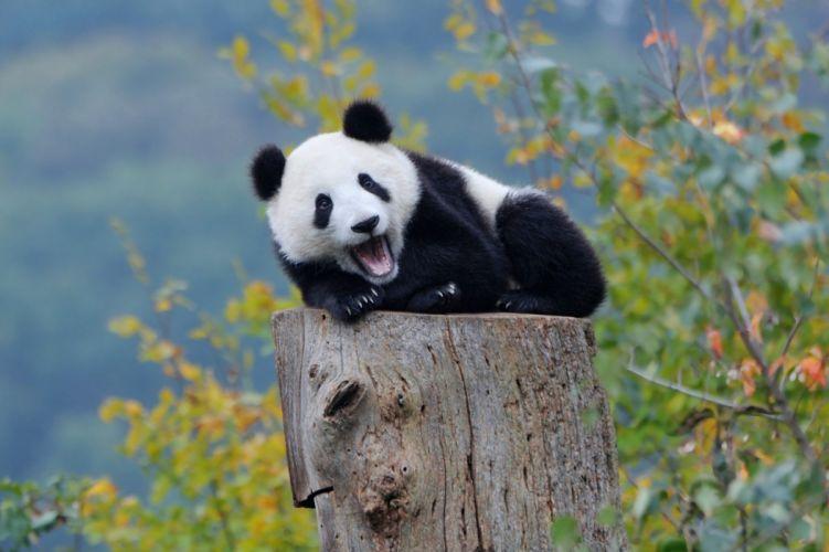 cachorro oso panda animales wallpaper