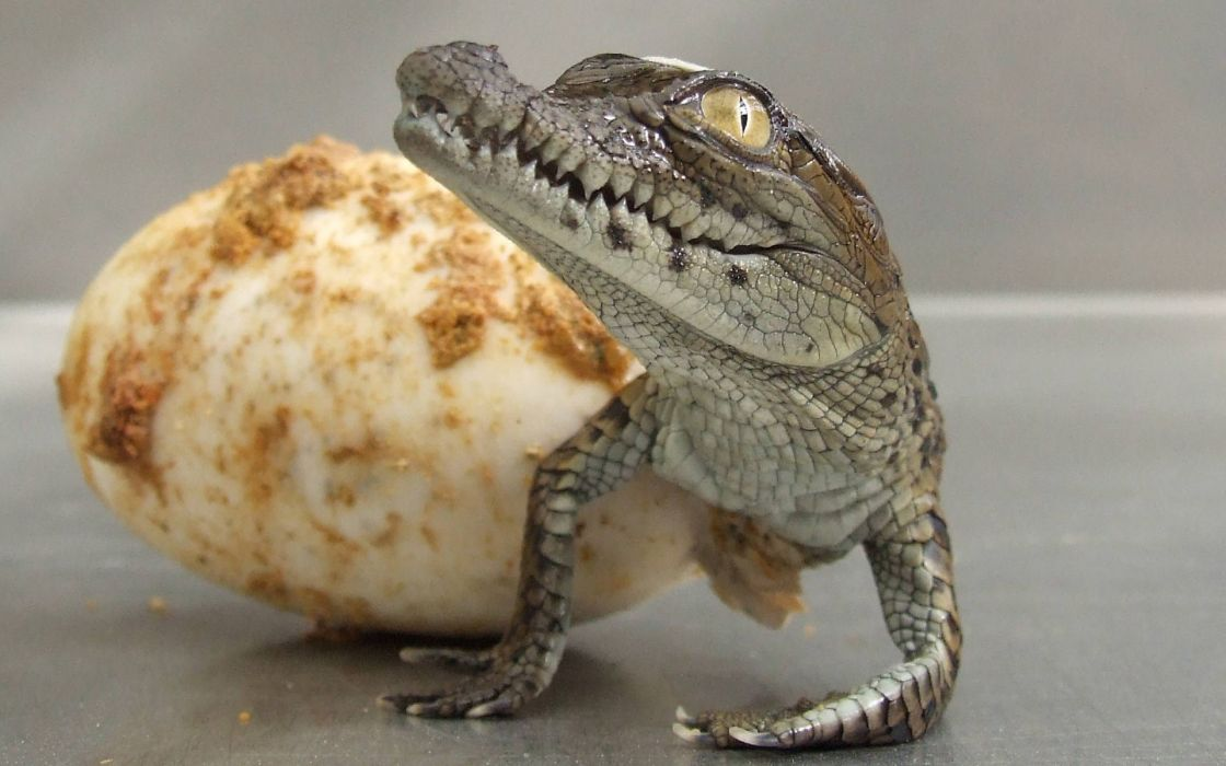 cria cocodrilo huevo wallpaper