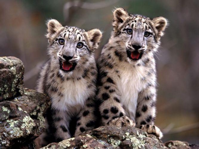 cachorros tigre animales wallpaper