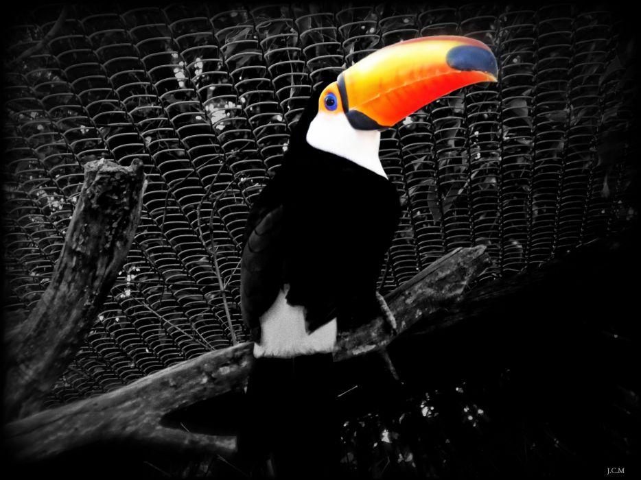 ave animal tucan wallpaper