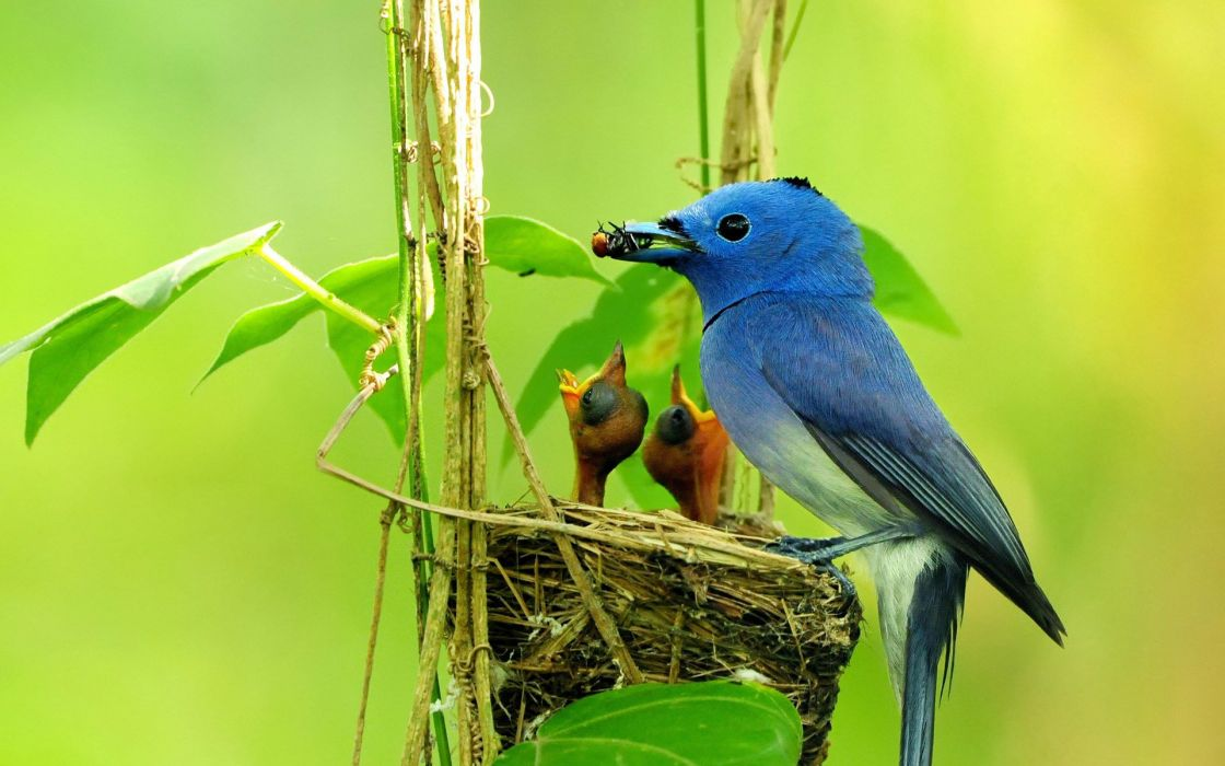 pajaro azul crias ave animales wallpaper