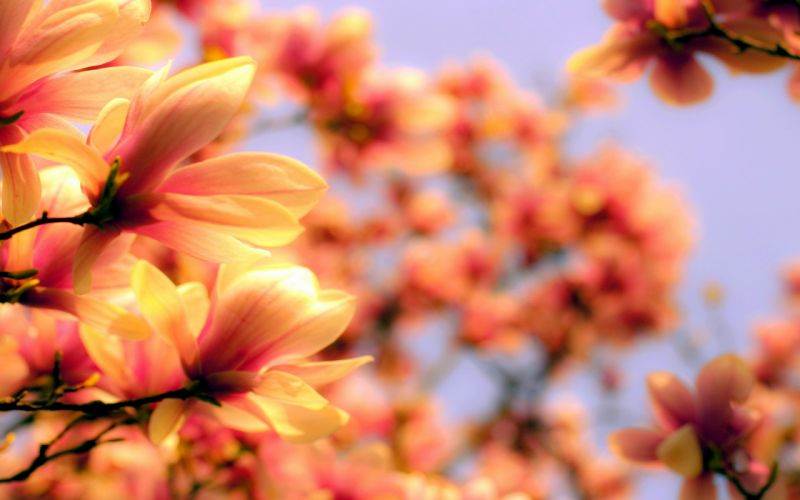 bright flower magnolia petals twigs branches wallpaper