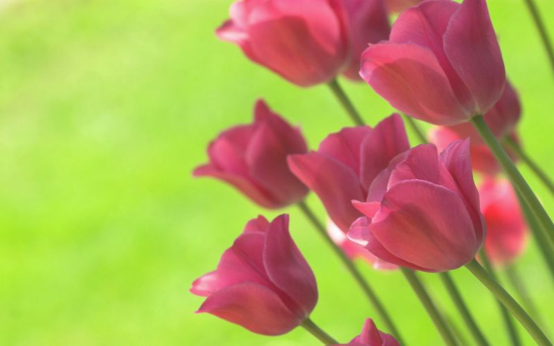 bright spring green tulips flowers background wallpaper