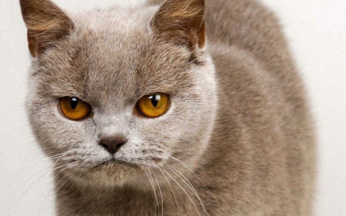 gato angora felino wallpaper