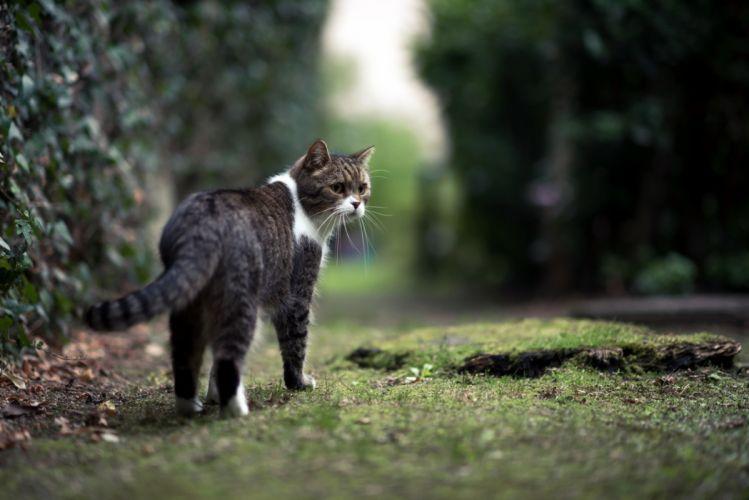 gato comun felino rayas wallpaper