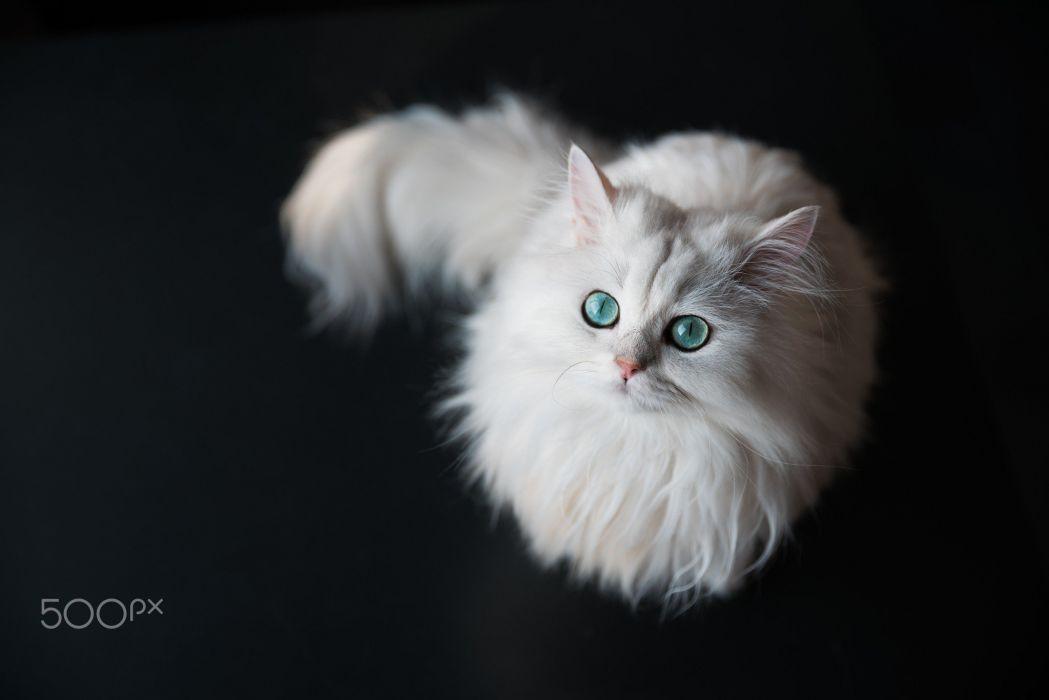 gato blanco peludo animales felino wallpaper