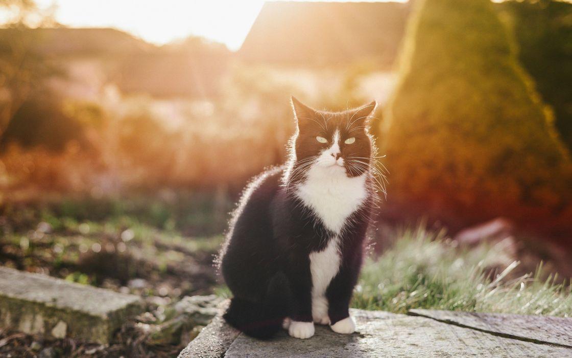 gato felino blanco negro wallpaper
