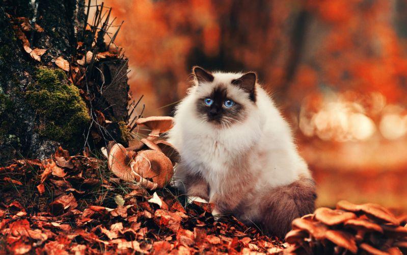 gato persa hojas bosque felino wallpaper