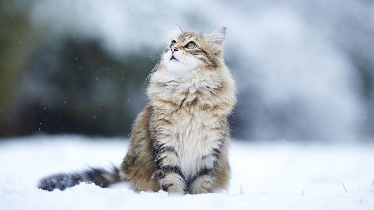 gato felino animales nieve wallpaper