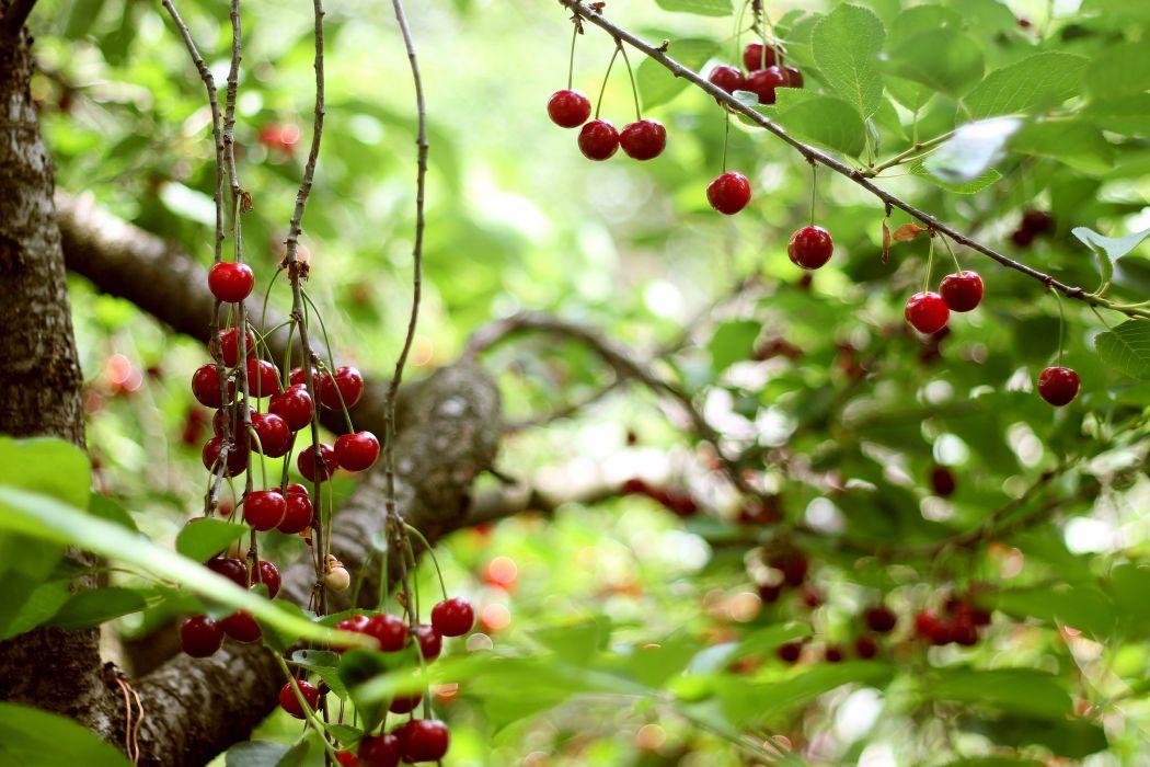 cherry tree berries harvest summer ripe leaves wallpaper
