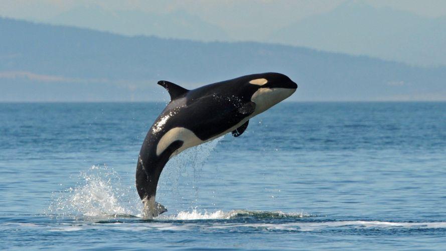 ballena orca santando animales wallpaper