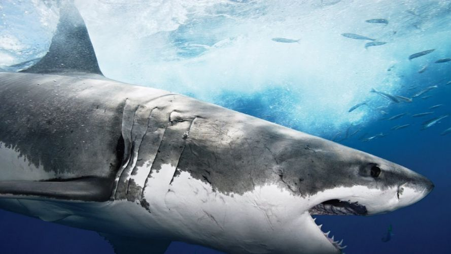 tiburon blanco peces animales wallpaper