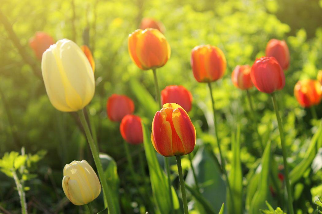 tulips flowers spring garden wallpaper