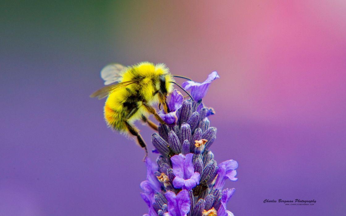 abeja polinizando flores insectos wallpaper