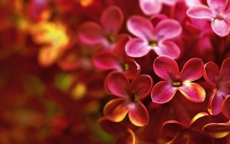 lilac macro flower bright spring wallpaper