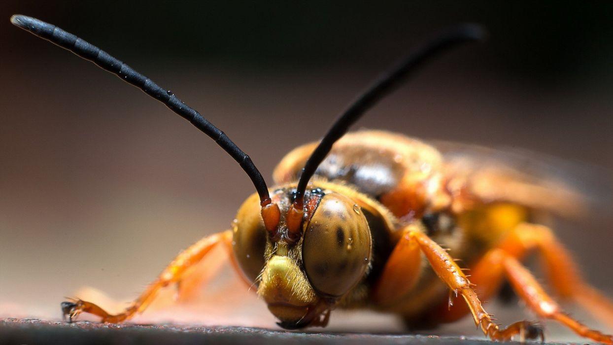 avispa insecto animales wallpaper