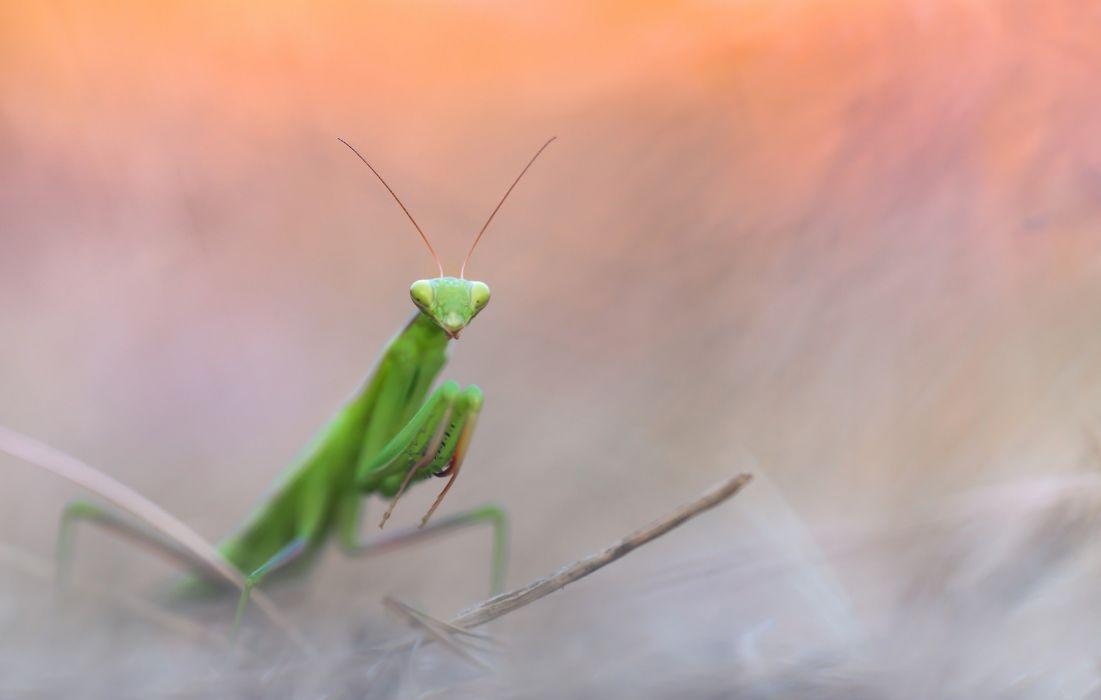 mastin religiosa insecto animales wallpaper