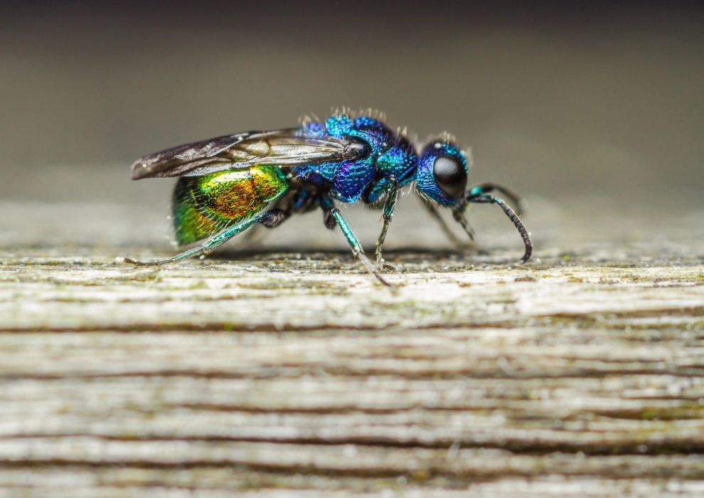 mosca azul insecto animales wallpaper