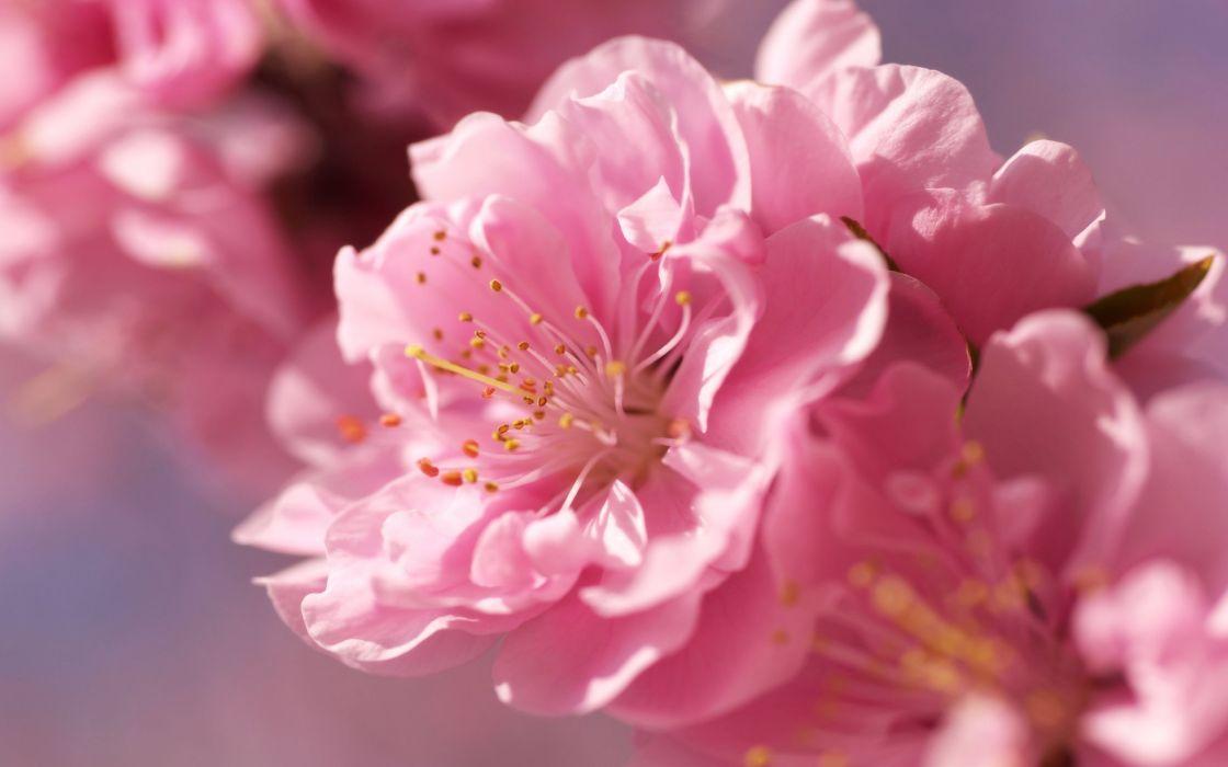 pink blur flower cherry tenderness bright wallpaper