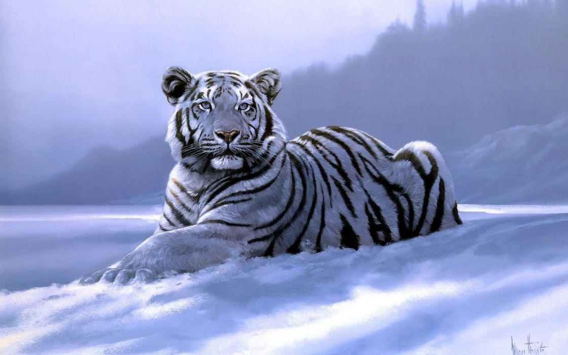 white siberian tiger animal  wallpaper