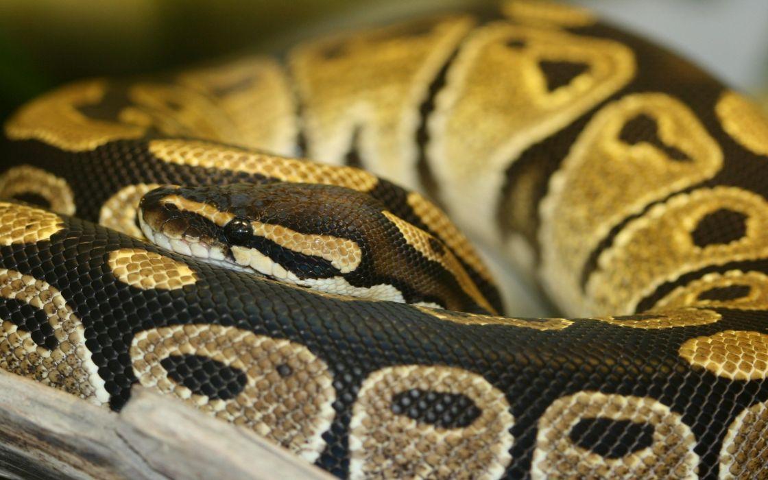 piton serpiente reptil animales wallpaper