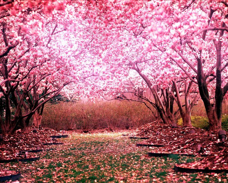 Cherry Blossom Tree Landscape wallpaper