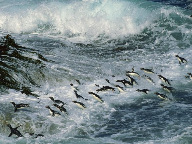 Many Penguins animals wallpaper