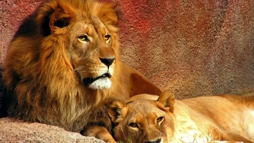 Two lions lying animals wallpaper