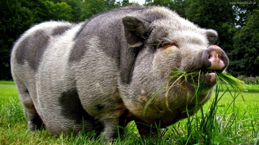 cerdo animal porcino wallpaper