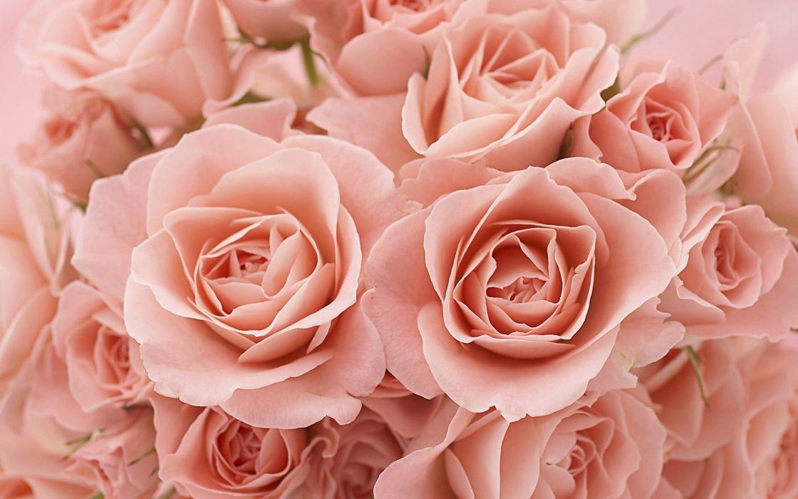 flower rose pink texture wallpaper