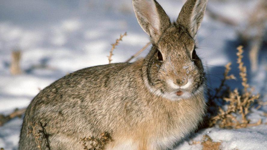 conejo animal roedor nieve wallpaper