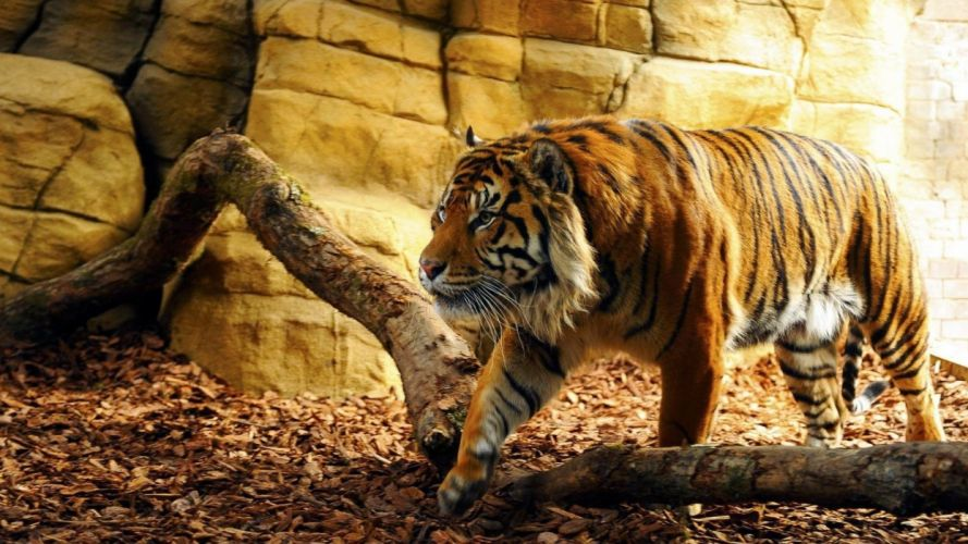 tigre bengala felino mamifero wallpaper