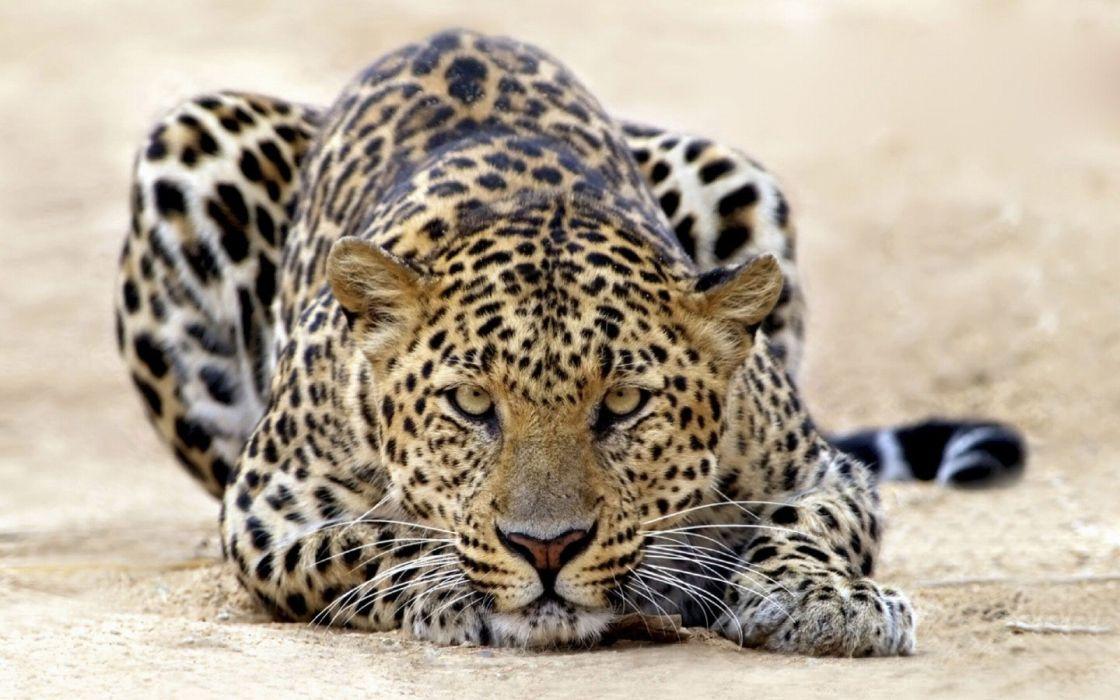 Leopardo animal mamifero wallpaper
