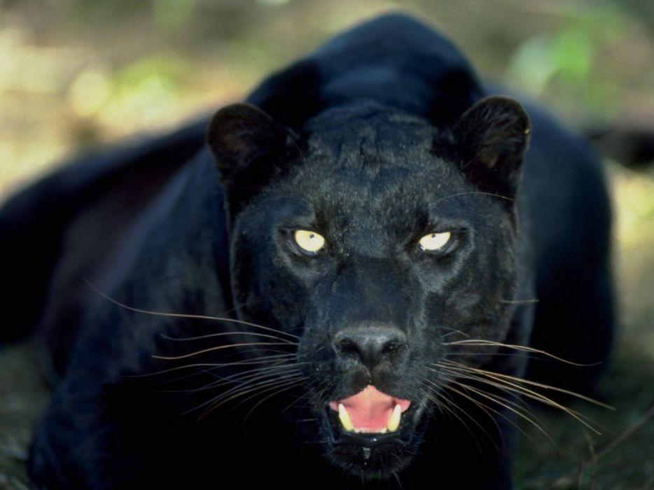 Pantera Negra Mamifero Animal Wallpaper