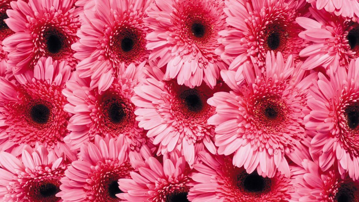 Gerberas flower texture wallpaper