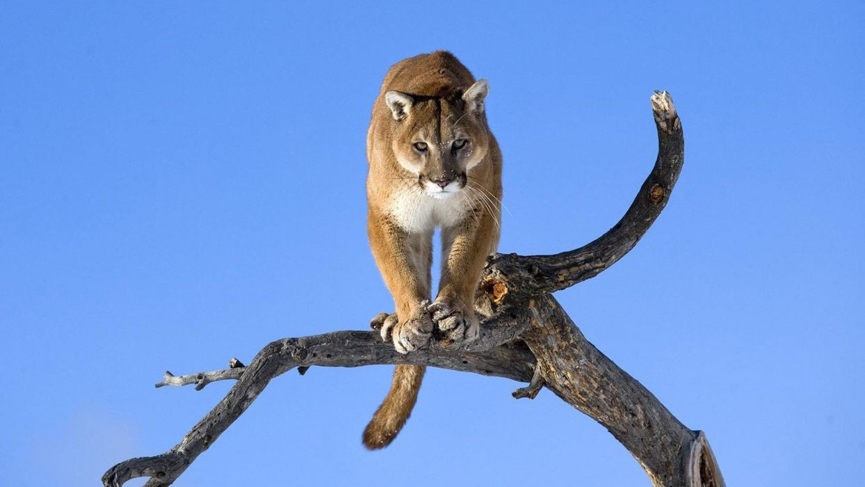 puma felino animal mamifero wallpaper